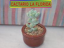Cactus y suculentas en macetero de greda esmaltada for Cactario santiago